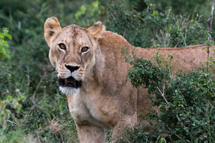 Portrait of a lioness (Panthera leo) in the bush on a kopje known as Lion Rock in Lualenyi reserve,の写真素材 [FYI03785909]