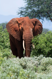 African elephant (Loxodonta africana), Tsavo, Kenya, East Africa, Africaの写真素材 [FYI03785926]