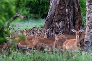 An harem of female impalas (Aepyceros melampus), Tsavo, Kenya, East Africa, Africaの写真素材 [FYI03785946]