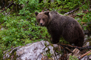 European brown bear (Ursus arctos), Slovenia, Europeの写真素材 [FYI03785958]
