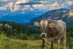 View of landscape and cattle from Marmolada Pass at sunset, South Tyrol, Italian Dolomites, Italy, Eの写真素材 [FYI03786041]