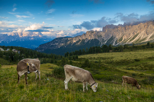 View of landscape and cattle from Marmolada Pass at sunset, South Tyrol, Italian Dolomites, Italy, Eの写真素材 [FYI03786042]