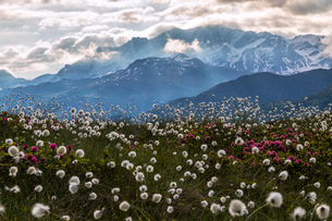 Rhododendrons and cotton grass, Maloja, Bregaglia Valley, Engadine, Canton of Graubunden (Grisons),の写真素材 [FYI03786358]