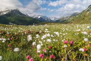 Meadows of rhododendrons and cotton grass, Maloja, Bregaglia Valley, Engadine, Canton of Graubundenの写真素材 [FYI03786359]
