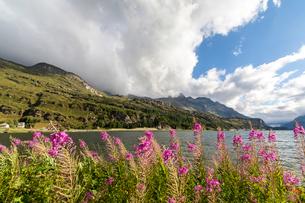 Epilobium wildflowers on lakeshore, Maloja Pass, Bregaglia Valley, Engadine, Canton of Graubunden (Gの写真素材 [FYI03786363]