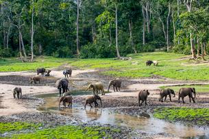 African forest elephants (Loxodonta cyclotis) at Dzanga Bai, UNESCO World Heritage Site, Dzanga-Sangの写真素材 [FYI03786432]