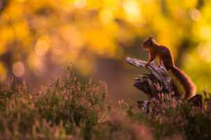 Red squirrel (Sciurus vulgaris) and autumnal colours, Cairngorms National Park, Scotland, United Kinの写真素材 [FYI03786436]