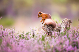 Red squirrel (Sciurus vulgaris) in blooming heather, Cairngorms National Park, Scotland, United Kingの写真素材 [FYI03786438]