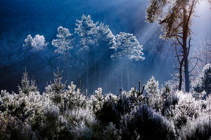 Frost covered trees in the forest in the commune of Baerenthal, in the Moselle region, France, Europの写真素材 [FYI03786441]