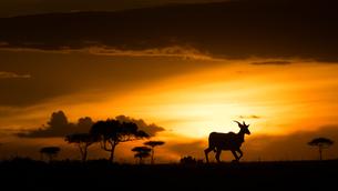 Eland at sunset, Masai Mara, Kenya, East Africa, Africaの写真素材 [FYI03786450]