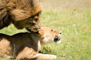 Mating Lions, Masai Mara, Kenya, East Africa, Africaの写真素材 [FYI03786467]