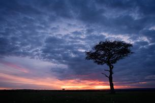 Acacia tree at sunset, Masai Mara, Kenya, East Africa, Africaの写真素材 [FYI03786469]
