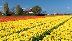 Colourful tulips in Holland, The Netherlands, Europeの写真素材 [FYI03786480]