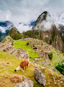 Llama in Machu Picchu, UNESCO World Heritage Site, Cusco Region, Peru, South Americaの写真素材 [FYI03786620]