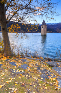 Autumn colors at the iconic bell tower of Curon Venosta, Resia Pass, South Tyrol, Italy, Europeの写真素材 [FYI03786898]
