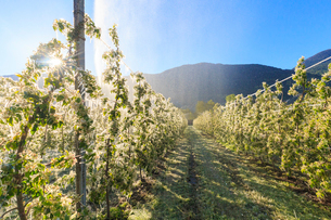 Ice on apple plants during the cold spring days, Valtellina, Lombardy, Italy, Europeの写真素材 [FYI03786911]