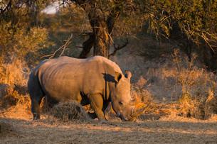 White rhinoceros (Ceratotherium simum), Kalahari, Botswana, Africaの写真素材 [FYI03787008]