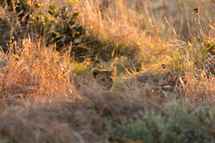 Lion (Panthera leo), Khwai Conservation Area, Okavango Delta, Botswana, Africaの写真素材 [FYI03787019]