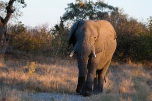 African elephant (Loxodonta africana), Khwai Conservation Area, Okavango Delta, Botswana, Africaの写真素材 [FYI03787025]