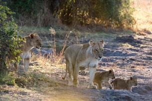 Lions (Panthera leo), Khwai Conservation Area, Okavango Delta, Botswana, Africaの写真素材 [FYI03787026]