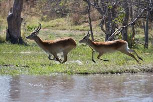 Red lechwe (Kobus leche leche), Khwai Conservation Area, Okavango Delta, Botswana, Africaの写真素材 [FYI03787027]