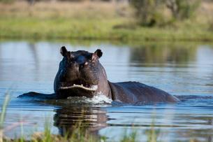 Hippopotamus (Hippopotamus amphibius), Khwai Conservation Area, Okavango Delta, Botswana, Africaの写真素材 [FYI03787028]