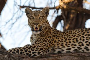 Leoprard (Panthera pardus), Savuti, Chobe National Park, Botswana, Africaの写真素材 [FYI03787033]
