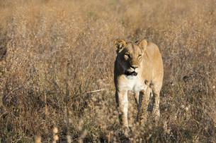 Lion (Panthera leo), Savuti, Chobe National Park, Botswana, Africaの写真素材 [FYI03787040]
