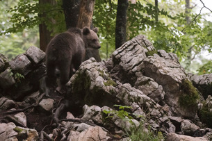 European brown bear (Ursus arctos), Notranjska forest, Slovenia, Europeの写真素材 [FYI03787058]