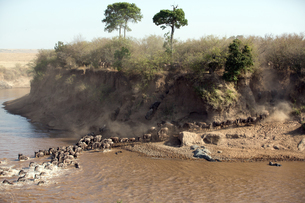 Herd of migrating wildebeest (Connochaetes taurinus) crossing Mara River, Masai Mara National Reservの写真素材 [FYI03787181]