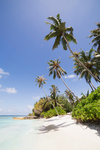 Palm trees lean over white sand, under a blue sky, on Bandos Island in The Maldives, Indian Ocean, Aの写真素材 [FYI03787211]