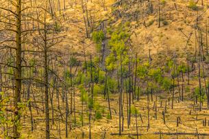View of barren land following recent fire near Kamloops, British Columbia, Canada, North Americaの写真素材 [FYI03787267]