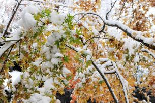 First fall of snow onto maple leaves still showing autumn colours, outside Kubota Itchiku Kimono Musの写真素材 [FYI03787321]