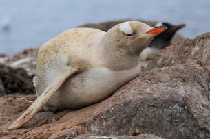 Rare leucistic gentoo penguin (Pygoscelis papua), Gonzalez Videla Station, Waterboat Point, Paradiseの写真素材 [FYI03787322]