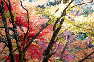 Glorious autumn leaf colour in the Japanese maple trees in Ginkakuji (Silver Pavilion) Zen temple gaの写真素材 [FYI03787325]