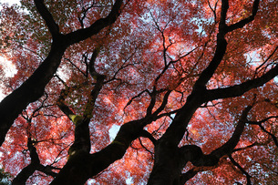 Glorious autumn leaf colour in the Japanese maple trees in Ginkakuji (Silver Pavilion) Zen temple gaの写真素材 [FYI03787326]