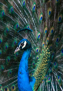 Indian Peacock (Pavo Cristatus) plumage display in the grounds of Barcelona Zoo, Catalonia, Spain, Eの写真素材 [FYI03787634]
