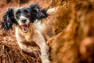 Springer spaniel running through ferns, United Kingdom, Europeの写真素材 [FYI03787696]