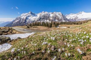 Crocus in bloom, Entova Alp, Malenco Valley, province of Sondrio, Valtellina, Lombardy, Italy, Europの写真素材 [FYI03787822]