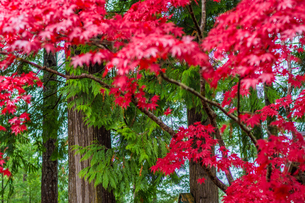 Japanese maple leaves and green trees on the Sunshine Coast, British Columbia, Canada, North Americaの写真素材 [FYI03787985]
