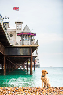 Golden labrador on Brighton Beach, Brighton and Hove, East Sussex, England, United Kingdom, Europeの写真素材 [FYI03788016]
