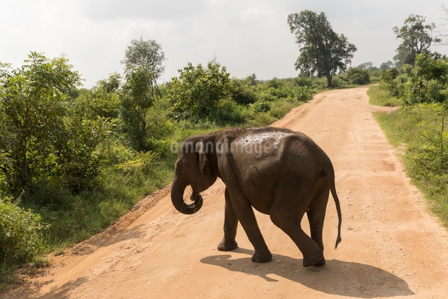 Asian elephant in Udawalawe National Park, Sri Lanka, Asiaの写真素材 [FYI03788125]