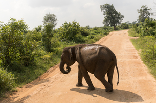 Asian elephant in Udawalawe National Park, Sri Lanka, Asiaの写真素材 [FYI03788125]