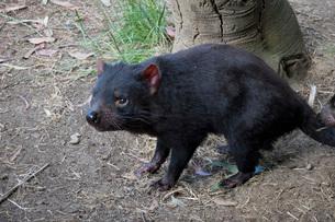 Tasmanian Devil, Tasmania, Australia, Pacificの写真素材 [FYI03788160]