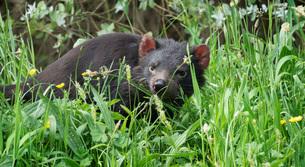 Tasmanian Devil in long grass, Tasmania, Australia, Pacificの写真素材 [FYI03788162]
