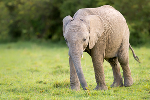 Elephant calf (Loxodonta africana), Masai Mara, Kenya, East Africa, Africaの写真素材 [FYI03788171]
