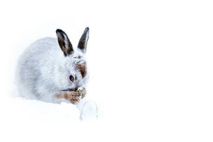 Mountain hare (Lepus timidus) in the Scottish Highlands, Scotland, United Kingdom, Europeの写真素材 [FYI03788175]