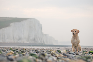 Golden labrador on the pebble beach at Cuckmere Haven with the Seven Sisters chalk cliffs behind, Soの写真素材 [FYI03788261]