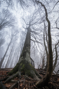 Trees in the mist, Parco della Grigna, province of Lecco, Lombardy, Italy, Europeの写真素材 [FYI03788459]