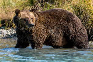 Grizzly (brown) bear (Ursus arctos) at Crescent Lake, Lake Clark National Park and Preserve, Alaska,の写真素材 [FYI03788519]